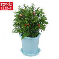 红豆(hodo)红豆集团红豆杉花卉绿植盆栽