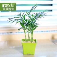 红豆袖珍椰子花卉盆栽办公室内桌面绿植水培植物绿色花卉盆景花草