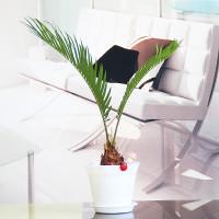 绿植盆栽 办公室桌面盆栽 花卉 多肉 铁树 榕树 像皮树 吸收辐射 净化空气 小盆栽 室内盆栽 铁树(白色罗马盆)